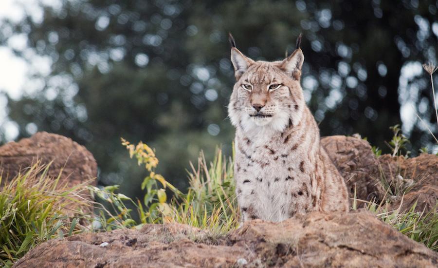 Photographie d'un lynx boréal, vu de dessous