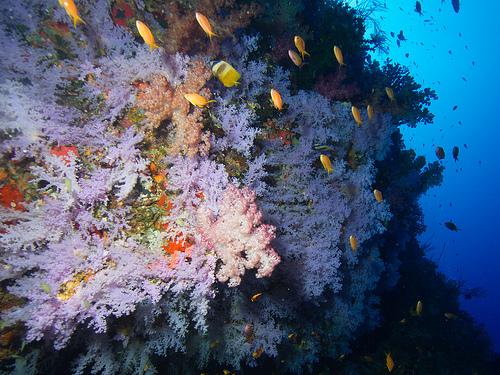 fidji corail flickr